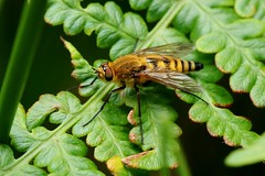 snipe fly....................explored. (Suzie Noble) Tags: snipefly insect invertebrate bracken fern strathglass struy