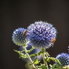 Busy with work (jaeschol) Tags: biene insekt schrebergarten switzerland bee