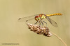 Common Darter (ABPhotosUK) Tags: animals anisoptera canon commondarter dartmoor devon dragonflies ef100400mmisii ef25mmextensiontube eos7dmarkii invertebrates macro nocrop odonata sympetrumstriolatum wildlife