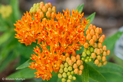 Butterfly Weed (Asclepias tuberosa) (KristenMartyn) Tags: flower nativeplants gardening garden indoorplants plants flora ontario outdoor tour tours wildflower wildflowers nativeplant butterflyweed butterfly milkweed asclepiastuberosa
