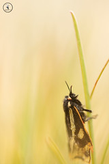 L'caille du plantain / Parasemia plantaginis (Mathurin C) Tags: parasemia plantaginis papillon caille du plantain heterocere parco nazionale gran paradisio italie valsavarenche macro macrodreams lepidoptere lepidoptera