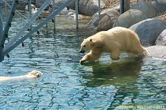 ijsberen_12 (Arnold Beettjer) Tags: wildlands emmen dierenpark dierentuin dierenparkemmen ijsbeer ijsberen polarbear