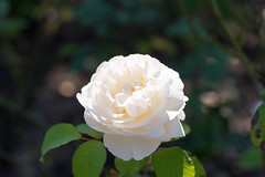 Weisse Rose (chagendo) Tags: rose weiss blume blte sonyalpha7ii