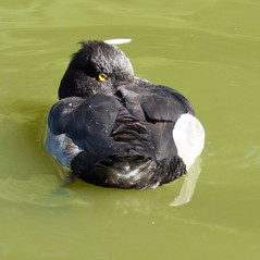 Tufted duck (Martellotower) Tags: tufted duck watchful eye