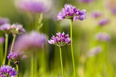 Flowers - Jura - Poland (Piotr Kowalski) Tags: flowers kwiaty kwiat flower green violet pink beautiful bokeh focus tamron canon macro nature flora