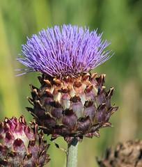 Thistle head (gordontour) Tags: nature wildlife ayrshire scotland clyde girvan plant thistle