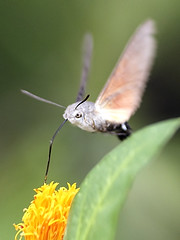 Hummingbird Hawk Moth by Front Viewpoint (Johnnie Shene Photography(Thanks, 1Million+ Views)) Tags: hummingbirdhawkmoth hummingbird hawkmoth moth hawk butterfly vertical frontview flapping midair hemiptera insect bug nature natural wild wildlife livingorganism tranquility tranquilscene adjustment feeding animal flying flight lighteffect korea fulllength interesting awe wonder behaviour macro closeup magnified photography outdoor colourimage fragility freshness nopeople foregroundfocus canon eos600d rebelt3i kissx5 tamron 90mm f28 11 lens
