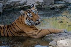Tiger Spa (fascinationwildlife) Tags: animal mammal tiger predator elusive feline cat wild wildlife nature natur india asia tigress female summer raubkatze big ranthambhore national park pond