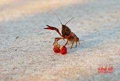 crawdad 255  b lr (Brad Bennett 2) Tags: crawdad rasberry comic funny hilarious pinch mine sidewalk red black berrys berry