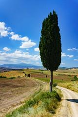 Tuscan cypress (pucek) Tags: italy tuscany cypress pienza valdorcia