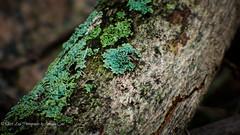 Lichen Hue (1 of 1) (amndcook) Tags: farm michigan outdoors tree branch field lichen moss nature wildlife