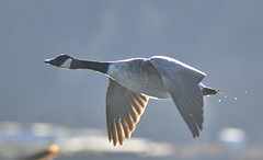 Canada Goose (glenbodie) Tags: glen bodie glenbodie dncb blackie 201638 canada goose