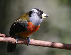Toucan Barbet - Mindo, Ecuador (Hard-Rain) Tags: toucanbarbet ecuador mindo endemic bird aves semnornisramphastinus wildife nature birding tropics andes