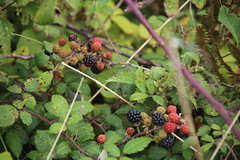 IMG_5280 (Ben936) Tags: royalsuttoncoldfieldcanoeclub blackrocksands bankholidayweekend wales porthmadog morfabychan sunny sunshine outdoor coastpath criccieth bramble blackberry