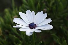 (danielebenvenuti) Tags: fiore petali bianco verde natura giardinaggio garden canon canon700d reflex