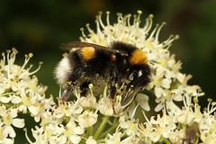Bombus terrestris (Buff-tailed Bumblebee) - Guernsey (Nick Dean1) Tags: bombusterrestris bumblebee bufftailedbumblebee insect bee insecta hexapoda hexapod arthropoda arthropod channelislands guernsey greatbritain canon canon7d macro hymenoptera