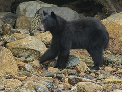 Fozzie Bear's Cousin Foggy Bear (T0nyJ0yce) Tags: blackbear wild animals fog ursusamericanus mammals sow mist beach islands pnw wildlife foggy westcoast bear muppets