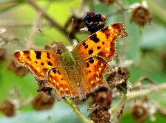 Butterfly (BrigitteE1) Tags: butterfly schmetterling bremen deutschland germany cfalter comma polygoniacalbum tagfalter edelfalter nymphalidae anglewings animal insect organicpattern pattern light closeup september nature natur orange color colors colorful specanimal
