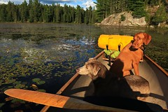something is out there (professional work here: www.urbantilt.com) Tags: algonquinpark algonquin vizsla hungarianvizsla grassybay waterlillies ottertailpaddle ottertail maplepaddle swiftcanoe canoe kevlarcanoe greyowlpaddle greyowl watching