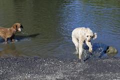 2731 (Jean Arf) Tags: ellison park dogpark rochester ny newyork september autumn fall 2016 poodle dog standardpoodle gladys maggie water wet pond jump leap