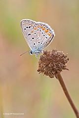 Plebejus argus (McGuiver) Tags: olympus epl5 zuiko60 macro wildlife deltallobregat llobregat santjoandespí papallona mariposa butterfly plebejusargus plebejus argus