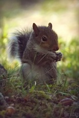 baby squirrel (lilruby) Tags: babysquirrel babyanimal southwestmissouri ozarks nature