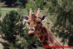 Canberra Zoo - Giraffe (soyouz) Tags: aus australiancapitalterritory australie curtin geo:lat=3530148145 geo:lon=14906964614 geotagged animals giraffe canberra australiel