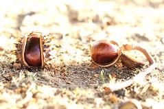2016-09-29 chestnuts (Jan Riemersma) Tags: kastanje chataigne chestnut gesztenye kastanie castanea