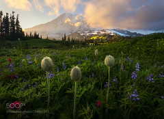 3 Siblings (BostonHVAC167) Tags: flowers sunset mountains spring color north clouds mount wildflowers national park pacific west rainier springtime pnw