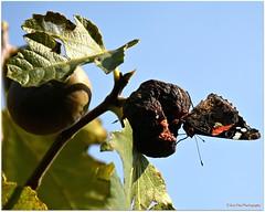 Feigenschmaus (mayflower31) Tags: feige frucht fruit schmetterling butterfly