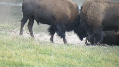 Butting heads (JJP in CRW) Tags: wildlife yellowstone wyoming nationalparks bison