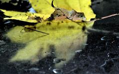 Lehti (pola's) Tags: winter sea snow reflection barn fence espoo finland evening autumnleaves mapleleaf hanko talvi aita meri ilta tapiola heijastus lato pelto pukukoppi vaahteranlehti syksynlehti palstankulma