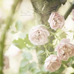 Summer Memories... (Samantha Nicol Art Photography) Tags: pink tree green art texture nature rose square bush soft pretty dof bokeh samantha nicol