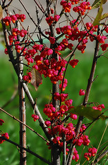 Fruiting Euonymus (Osdu) Tags: autumn nature bush euonymus shrubbery fruiting  mygearandme fruitingeuonymus