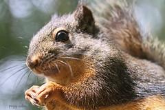 Squirrel Macro (Peggy Collins) Tags: canada squirrel britishcolumbia whiskers pacificnorthwest sunshinecoast animalcloseup douglassquirrel squirrelcloseup peggycollins squirrelmacro
