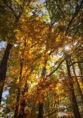 Fall along Blue Ridge Parkway #17 (Chris Lafort) Tags: autumn trees sun fall nature colors beauty leaves vertical glow blueridgeparkway colorefex viveza nikond700