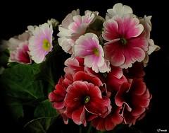 Primule  (DSCF9381) (hostel48) Tags: flowers macro nature flora fiori mfcc