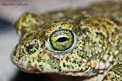 Ojo calamita 2 (David Herrero Glez.) Tags: madrid amphibian frog toad sapo rana herp herpetology bufo calamita anfibio batracian anuro anure epidalea