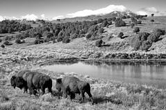 Sangre de Christo Mountains (Scott R Martin) Tags: blackandwhite mountains nature buffalo bison