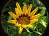 Gazania Bud (abrideu) Tags: flowers macro canon ngc gazania onmybalcony raynoxdcr250 abrideu fleursetpaysages
