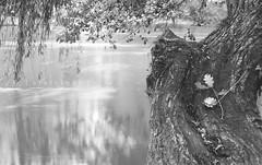 attesa bn_8752 [+1 colori] ([steTtì] sofasurfer since1974) Tags: longexposure stella autumn tree water canon river leaf waiting exposure fiume nd foglia albero acqua autunno friuli attesa filtro friuliveneziagiulia 60d filtrond canon60d