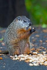 Groundhog (Brian E Kushner) Tags: animals newjersey backyard nikon wildlife peanuts groundhog f4 d800 audubon 600mm backyardanimals eatingpeanuts afsnikkor600mmf4gedvr nikond800 audubonnj bkushner brianekushner nikon600mmf4afsvr groundhogeatingpeanuts