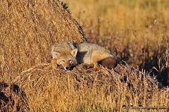 Let Sleeping Yotes Lie DSC_0386 (Ron Kube Photography) Tags: coyote nature animal fauna mammal nikon canislatrans d300s ronaldok nikond300s ronkubephotography