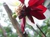 Water droplets on a Dahlia Flower (cyriltw) Tags: dahlia flower macro colors photography sri lanka dhalia blend the