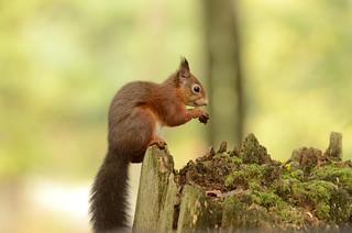Red Squirrel....nom nom nom