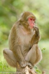 D7K_2876 (Maxime Riendeau) Tags: canada quebec qubec japanesemacaque macaquejaponais zoostflicien zoostflicien2012