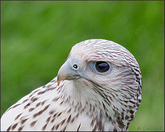 "Bird of Prey, ""The White Falcon"" This Bird belongs to Jonathan Marshall Falconry (pipilongstockings) Tags: uk white nature explore falcon birdofprey hennysanimals"