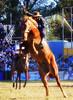Bien acomodao... (Eduardo Amorim) Tags: horses horse southamerica caballo uruguay cheval caballos cavalos prado montevideo pferde cavalli cavallo cavalo gauchos pferd hest hevonen chevaux gaucho 馬 américadosul montevidéu häst uruguai gaúcho 말 amériquedusud лошадь gaúchos 马 sudamérica suramérica américadelsur סוס südamerika jineteada حصان άλογο americadelsud gineteada ม้า americameridionale semanacriolla semanacriolladelprado eduardoamorim semanacriolladelprado2011 ঘোড়া