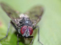 Housefly - Mosca común