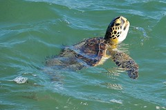 Green Sea Turtle (LaDora Sims) Tags: ocean blue sea beach nature water animals river nikon waterfront sebastian florida turtle indian inlet brevard sebastianinlet d3x dailynaturetnc12